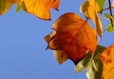 tulpenbomenblad-aan-de-ring-woensel_375x258